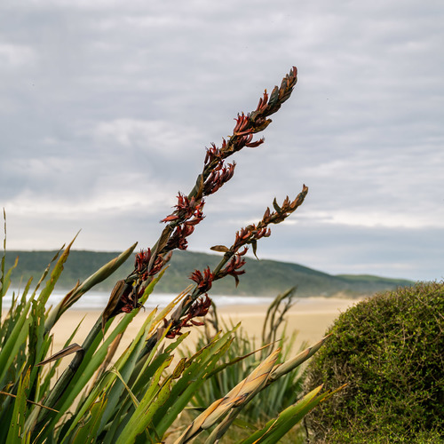 Flax in flower Cathedral Caves, Catlins
