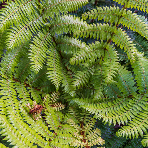 Fern pattern Cathedral Caves rainforest Catlins