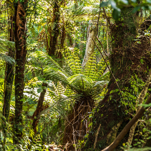 Fern forest and native trees Cathedral Caves, Catlins